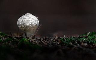 Puffball común en el bosque foto