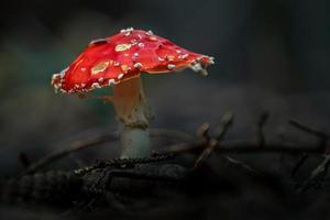 agárico de mosca en el bosque foto
