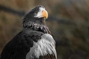 Stellers sea eagle photo