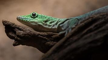 Standings day gecko photo