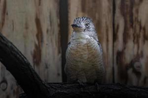 Blue winged kookaburra photo