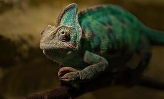 Portrait of Veiled chameleon photo