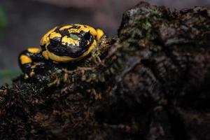Portrait of Fire salamander photo