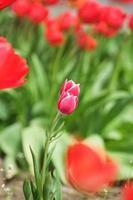 Flores de tulipán rosa en flor la temporada de primavera el enfoque selectivo y bokeh foto