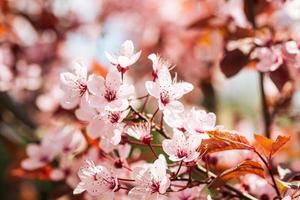 Plum fruit pink flowers in bloom on tree branch spring season selective focus photo