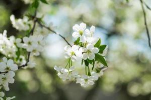 Flores de cerezo en flor en la rama de un árbol la temporada de primavera el enfoque selectivo foto