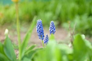 Plantas de flor de muscari azul temporada de floración de primavera el enfoque selectivo foto