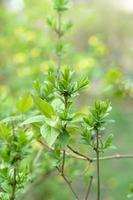 Green blooming leaves on branches springtime season plants selective focus photo