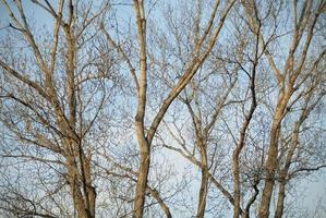 Group of bare trees in winter photo
