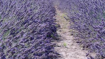 Fields of Lavender and Bees video