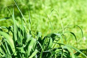 Hierba verde brillante de diferentes alturas en un día soleado foto