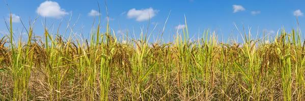 Rice Field in the morning under blue sky photo
