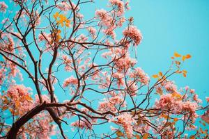 Tabebuia rosea flowers on sky photo
