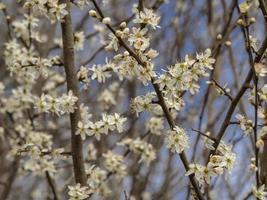 Prunus spinosa flor de endrino a principios de la primavera foto