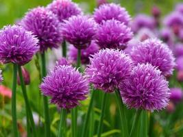 Pretty purple chives flowers in a garden photo