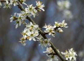 Blackthorn blossom Prunus spinosa on a tree branch photo