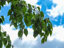 Beech tree leaves against a blue sky with white clouds photo