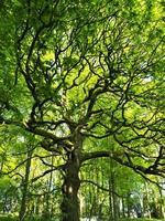 Roble con hojas verdes frescas a principios de la primavera. foto