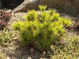 Dwarf pine tree Pinus strobus Radiata in a rock garden photo