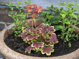 Mixed planting in a clay pot in a garden photo