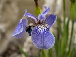 Closeup of a single Iris setosa flower photo