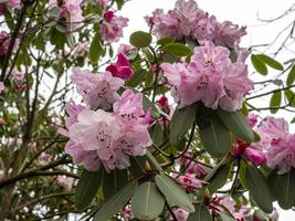 Pretty pink Rhododendron flowers photo