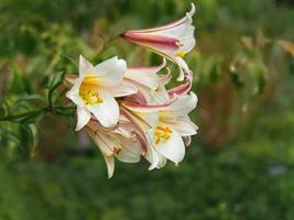 Hermosos lirios floreciendo en un jardín de verano foto