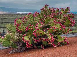 Prickly pear plant loaded with fruit photo