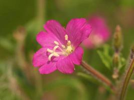 flor rosa de gran sauce, epilobium hirsutum foto