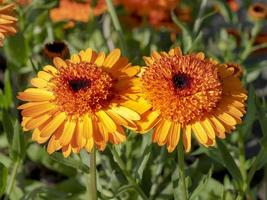 Two bright orange marigold flowers in a garden photo