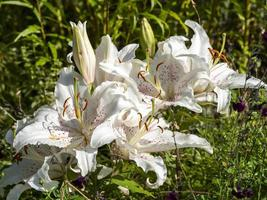 Large white lilies flowering in a garden photo
