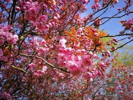 Pretty pink cherry blossom photo
