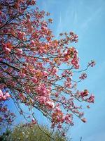Pretty pink cherry blossom against a blue sky photo