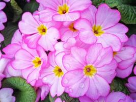 Lovely pink Primula flowers with water droplets after a rain shower photo