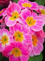 Pretty pink primrose flowers variety Apple Blossom photo