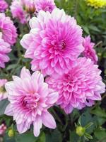 Lovely pink double Dahlia flowers in a garden photo
