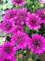 Bright purple African daisy flowers 3D Purple photo