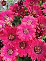 Hermosas flores de margarita africana roja foto