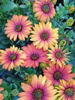 Beautiful orange African daisy flowers photo