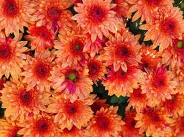 Lovely bright orange Chrysanthemum flowers photo