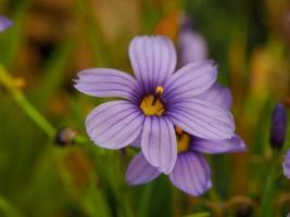 Pretty purple Sisyrinchium californicum flower in a garden photo
