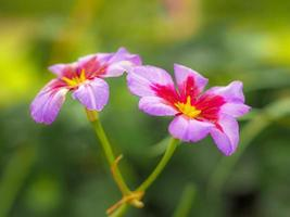Alpine flowers Leucocoryne Andes or Glory of the Sun photo