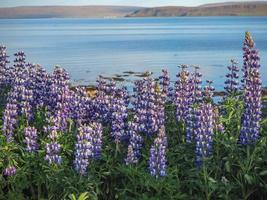 Lupins flowering at the edge of an Icelandic fjord photo