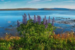 Lupins flowering beside a fjord in the Westfjords of Iceland photo