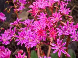 Bright pink flowers of Lewisia cotyledon in a garden photo