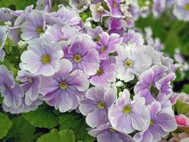 Lovely light purple Primula flowers in spring photo