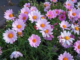 Pretty pink daisies photo