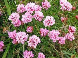 Pretty pink sea thrift flowers Armeria maritima photo
