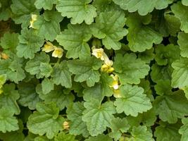 Trailing snapdragon Asarina procumbens leaves and flowers photo