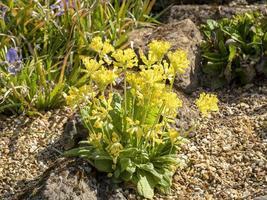 Cowslip Primula veris flowering in a rock garden photo